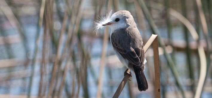 White-headed Marsh Tyrant (f)
