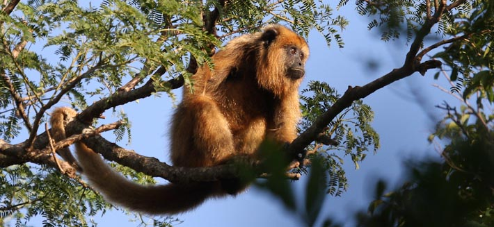 Black Howler Monkey (female)