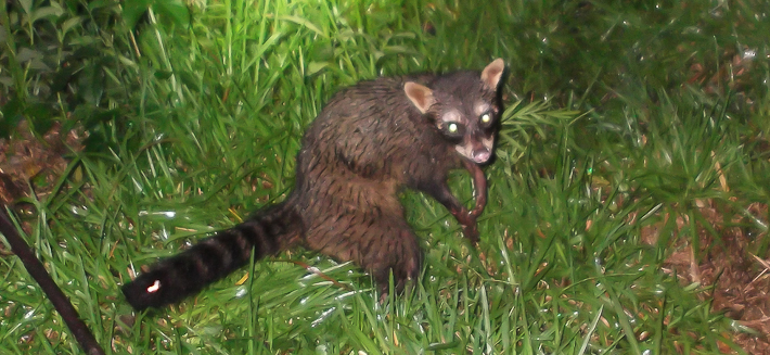 Crab-eating Racoon, Aguara Pope