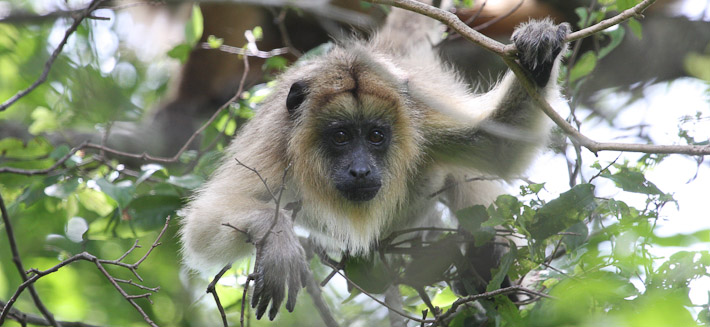 Black Howler Monkey (juv)