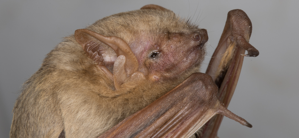 Lasiurus ega (Southern Yellow Bat)
