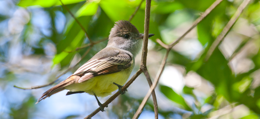 Brown-crested Flycatcher (Myiararchus tyrannulus)