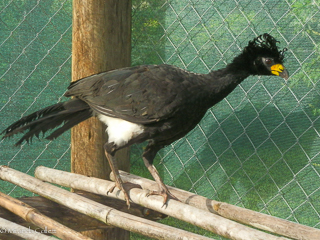 Bare-faced Curassow at Don Luis
