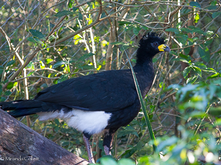 Curassow settling in well