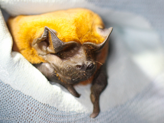 Black Mastiff Bat