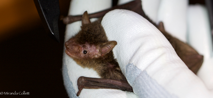 Argentine Brown Bat