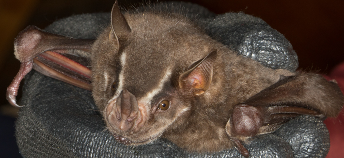 Flat-faced Fruit-eating Bat