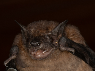 New bat species for team