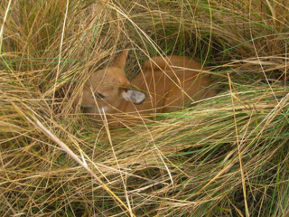 New baby Marsh Deer