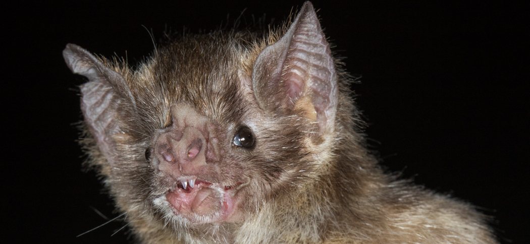 Desmodus rotundus (Common Vampire Bat)