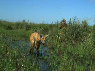 Maned Wolf seen at Don Luis