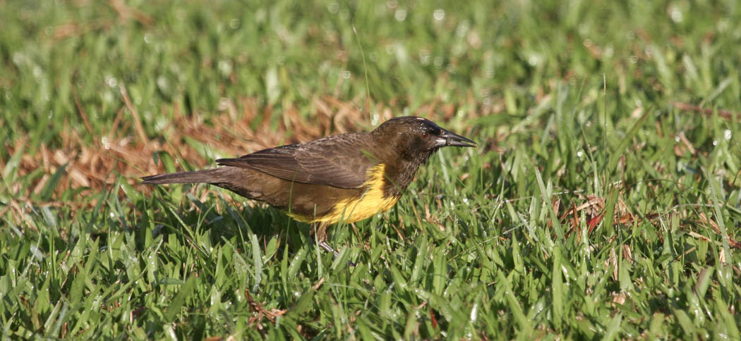 Brown & Yellow Marshbird (Pseudoleistes virescens)