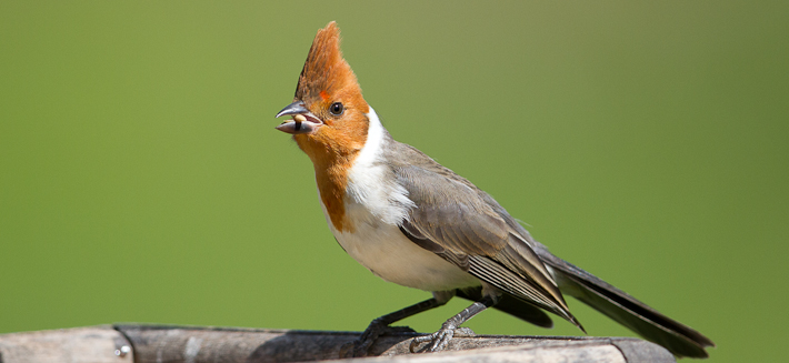 Red-crested Cardinal (juv)