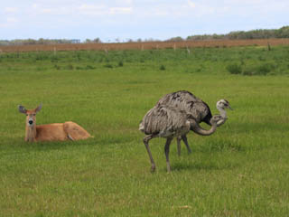 Giant Rheas make their home at reserve