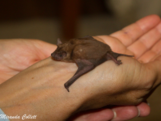 New bat species found at reserve