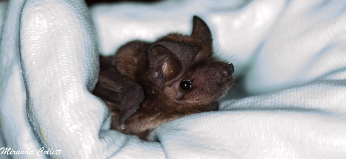 Patagonia Dwarf Bonneted Bat