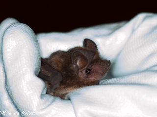 Patagonian Dwarf Bonneted Bat