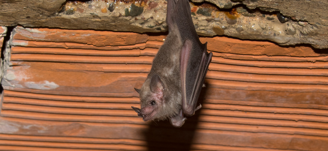 Glosophaga soricina (Pallas's Long-tongued Bat)