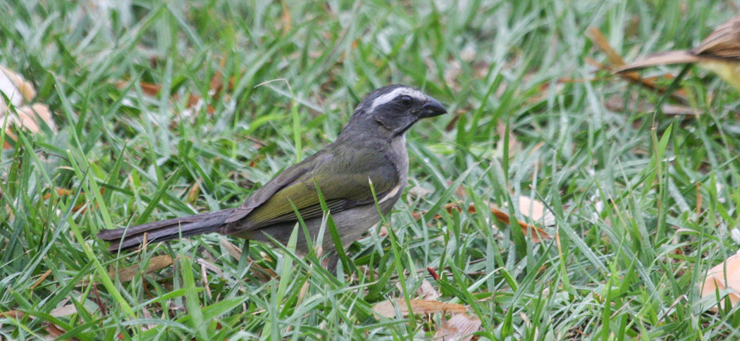 Green-winged Saltator (Saltator similis)