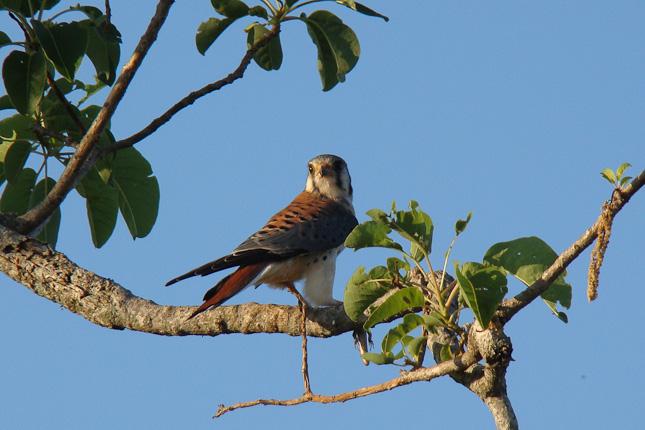 Falco sparvarius