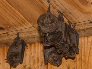 New bat species for Bat team