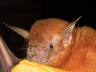 Bat team capture 2 new species of bat