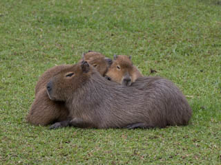 Capybaras doing better