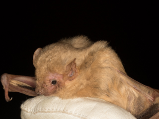 Southern Yellow Bat
