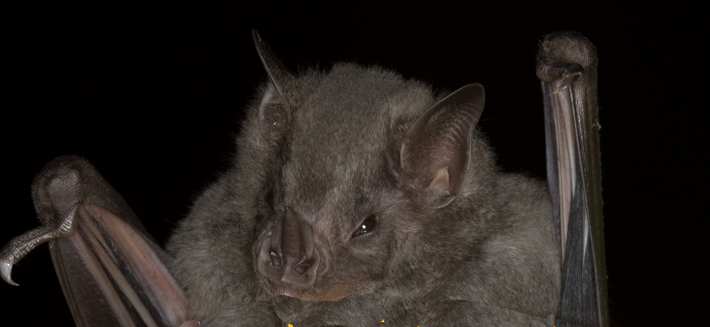 Fringed-Fruit-Eating-Bat