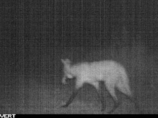 Maned Wolf on Camera Trap