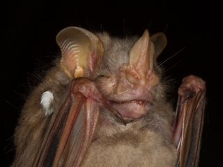Bat team capture another species