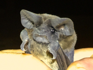 Another new bat species for the Bat Team
