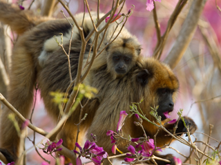 Howler Monkeys feasting on Lapacho flowers
