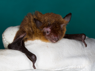 New Bat Species for Reserve