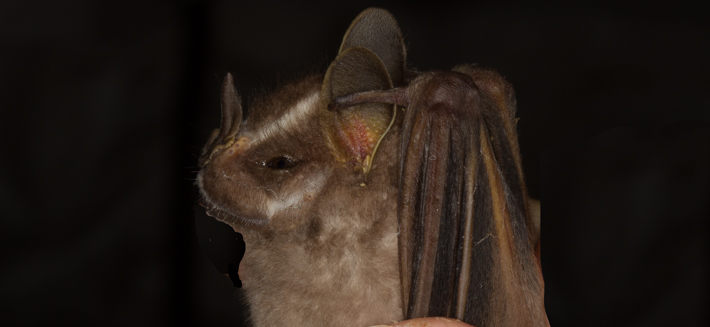 White-lined Bat