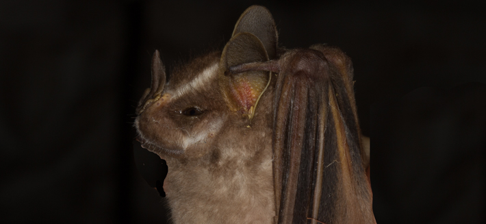 white-lined-bat