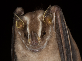 Another new Bat Species for Reserve