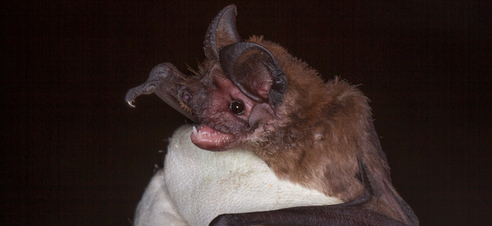 Peter's Mastiff Bat