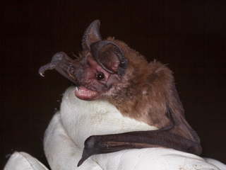 Yet another New Bat Species for reserve