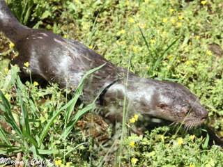 Otters seen at Reserva Don Luis