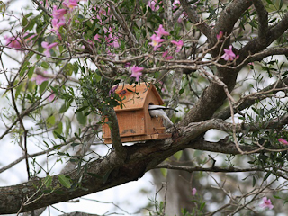 White Monjita using Nest Box