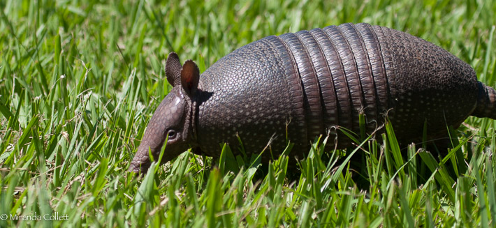 Seven-banded Armadillo