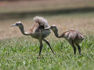 Baby Greater Rheas at Don Luis