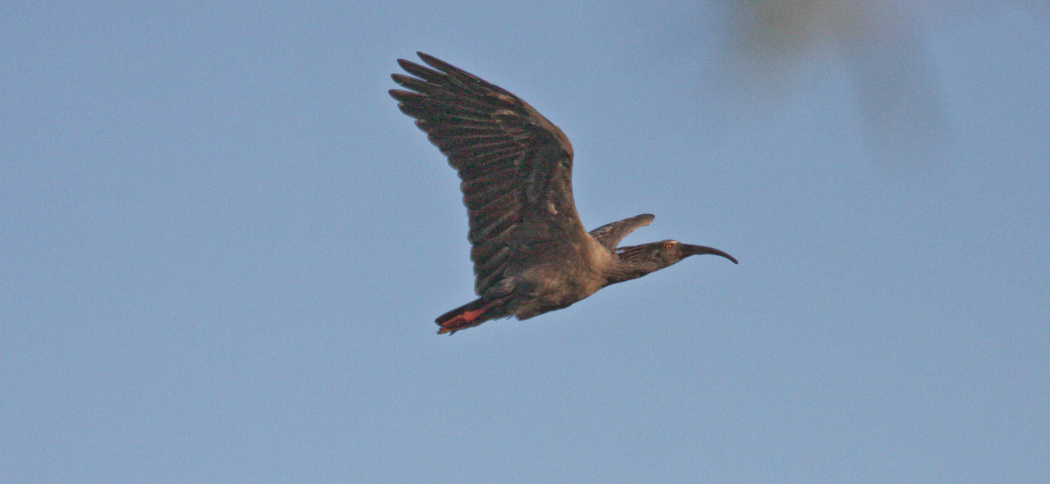 Plumbeous Ibis (Harpiprion caerulescens)