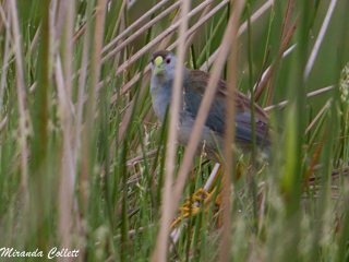 Azure Gallinule at Reserve