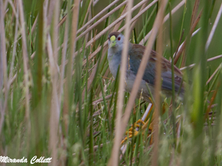 4 Azure Gallinules seen at Don Luis
