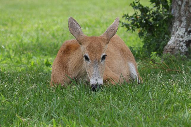 Marsh Deer, Ciervo de los Pantanos