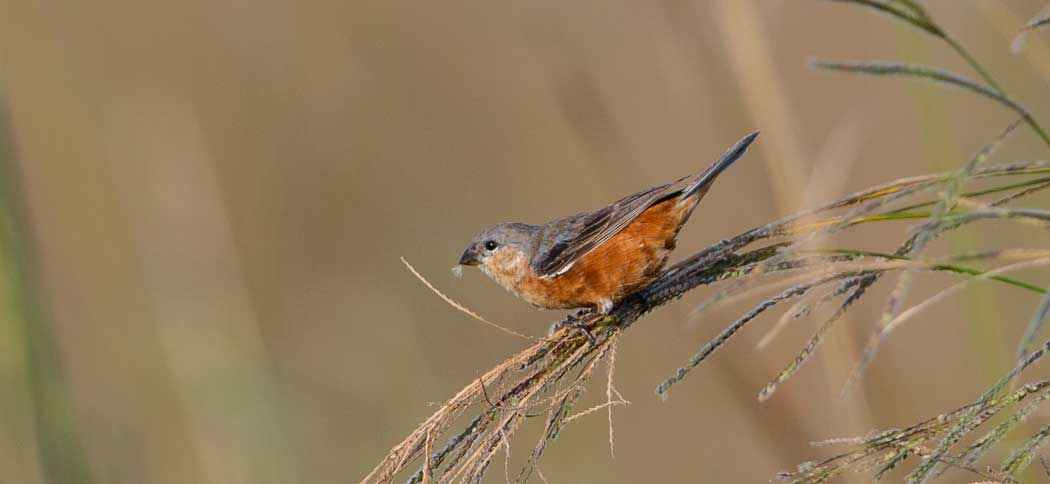 Rufous-rumped Seedeater