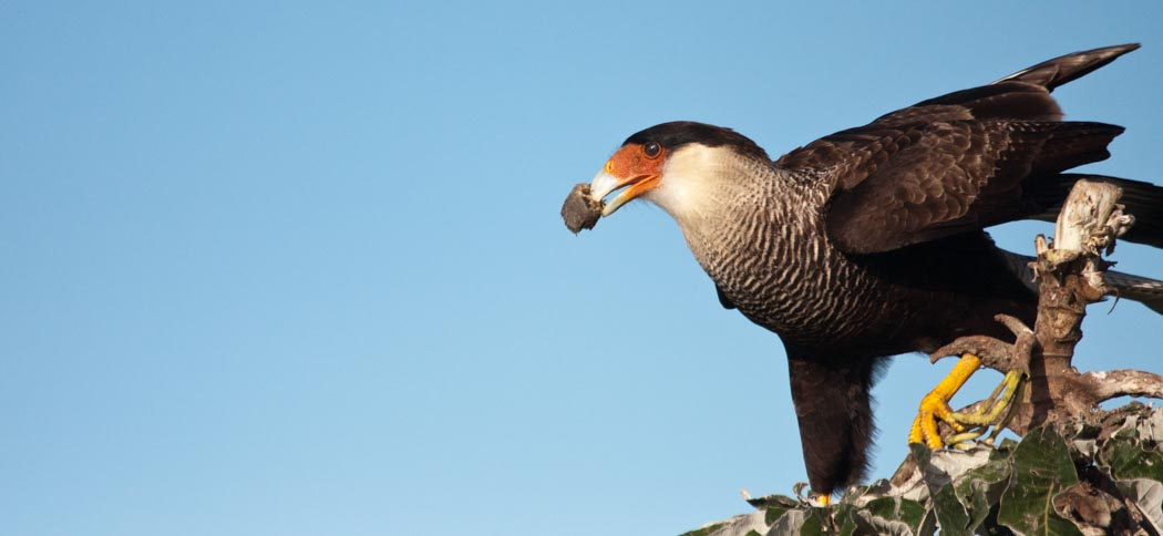 Southern-crested Caracara