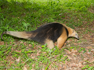 Southern Tamandua seen by Ramon